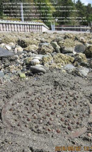 manila-clams